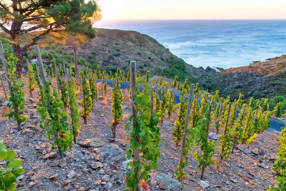 Banyuls : un vin unique dans un climat méditerranéen unique