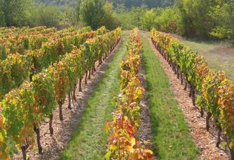 Vue entre les vignes du Domaine Les Roques de Cana