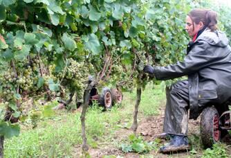 Travail dans les vignes au Château Rioublanc