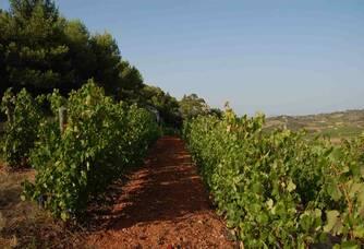 Vue sur le vignoble de Mas Champart
