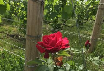 Roses au milieu du Champagne Lejeune