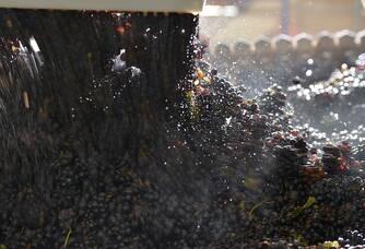 Récolte du Champagne Lejeune