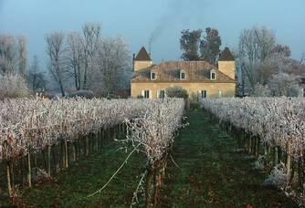 Les vignes du Château Cantinot