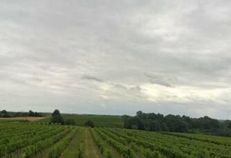 Les vignes du Château Faurie