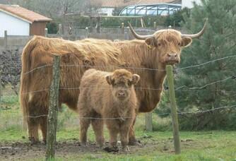 Les bovins du Domaine du Champ Chapron