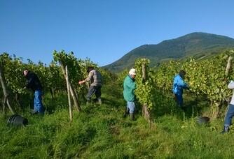 Le travail dans les vignes au Domaine de Kamm