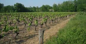 Les vignes du Jardin d'Edouard