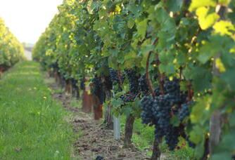 Les vignes du Château Ascumbas