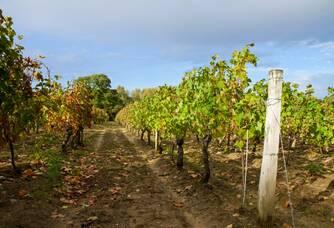 Les vignes du Domaine les Aphillanthes