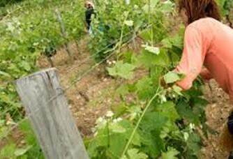 Travail dans les vignes chez Ferraton père et fils