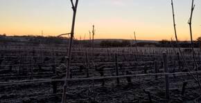 Les vignes en hiver.