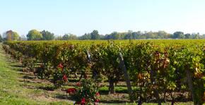 Château Sainte-Barbe - Les vignes