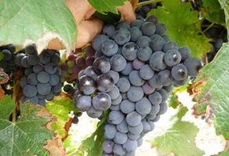 Les raisins du domaine Treille