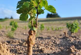 Une jeune vigne du Domaine Serol