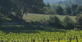 Calavon - Vue du vignoble