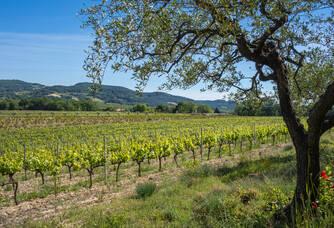 Parcelle de syrah à Vinsobres et olivier AOC Nyons