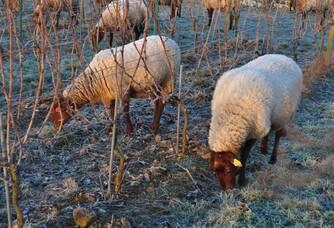 Moutons pour la tonte hivernale