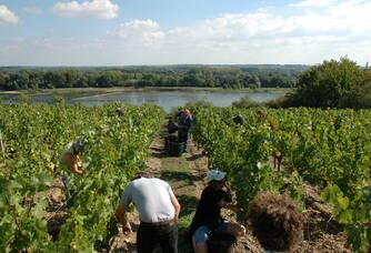 Vendange au-dessus de la Loire à la Croix Picot