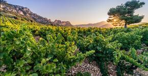 le vignoble au lever du soleil