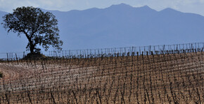 Dom Brial - Les pieds de vigne