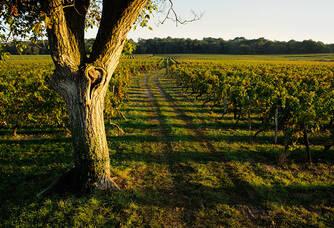 Château de Minière - Un arbre dans la vigne