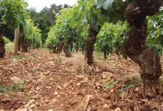 Domaine Trapet-Rochelandet - Pied de vigne