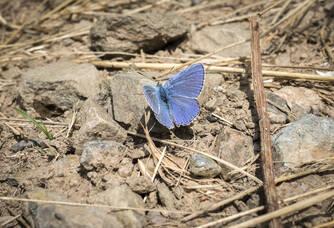 Le Bellargus, rare papillon bleu azur du Coteau des Treilles