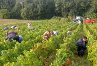 Domaine Baillais - Les vignes pendant les vendanges
