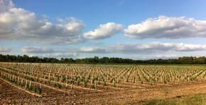 Ampelidae - Les jeunes vignes