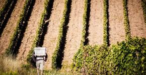Domaine La Madura - Un vendangeur dans les rangs de vigne