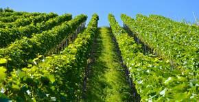 Château Peyruchet - Les rangs de vigne