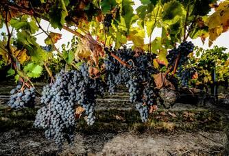 Au coeur des vignes du Château Lauduc