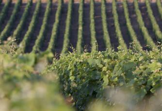 Le coeur dans les vignes du Domaine Berthier.