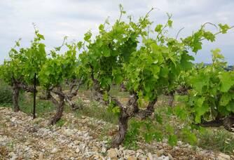 Nos plus vieilles vignes au printemps