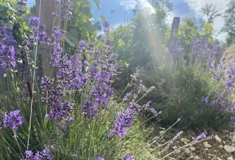 Pieds de lavande pour favoriser la faune et flore au pieds de nos vignes
