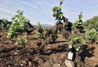 Vigne de Carignan centenaire ( 121 ans )