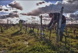 Les travaux de la vigne au Château de la Hourcade