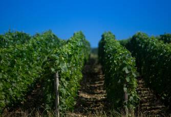 Les coteaux de vignes du Champagne Marteaux Guyard