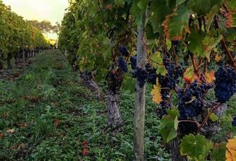 Vue entre les vignes du Château Marjosse