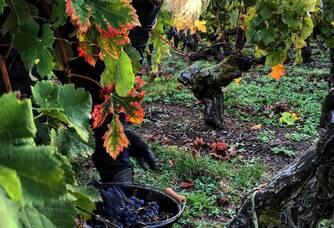 Un pied de vigne du Château Marjosse