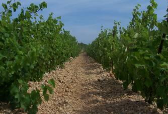 Vue entre les vignes du Château d'Anglès la Clape