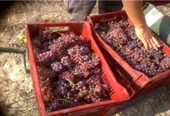 D'autres récoltes des vendanges des vignes de L'Oustal Blanc