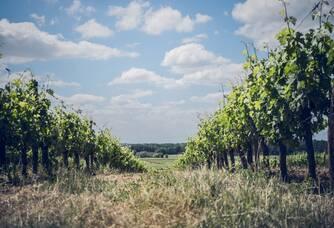 Une vue entre les vignes au Château Ferran