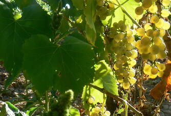 Les grappes de raisins blancs des vignes Haut-Blanville