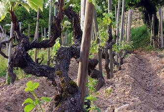 Les pieds de vignes du Domaine Guy Farge