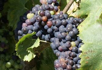 Les grappes rouges des vignes du domaine Pieracci