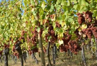 Vue sur les vignes de la Cave Materne-Haegelin