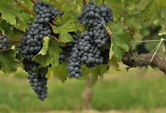 Des grappes de merlot des Vignobles Ducourt
