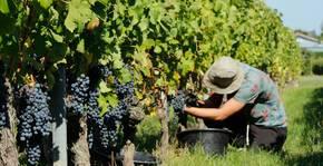 Pendant les vendanges aux vignobles Bardet