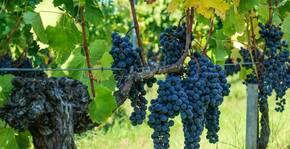 Les vignes du Domaine du Vignobles Bardet